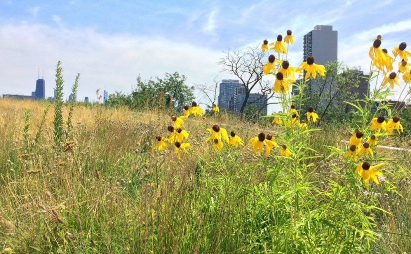 Two prairie species in my experimental plots blooming on a green roof on the Peggy Notebaert Nature Museum in Chicago