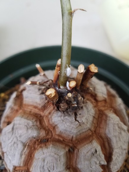 Mealybug feeding on the stem of Dioscorea elephantipes