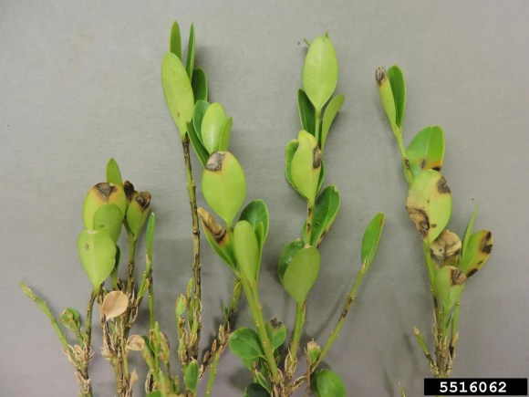Boxwood blight photo by Mary Ann Hansen, Virginia Polytechnic Institute and State University, Bugwood.org
