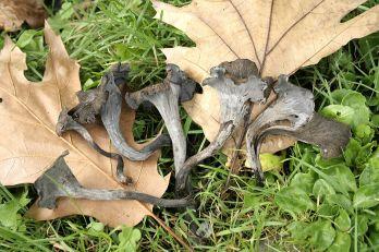 PHOTO: Black trumpet mushrooms (Craterellus cornucopioides)