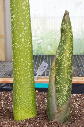 PHOTO: An Amorphophallus titanum shoot to the right of a leaf stalk provides comparison for determining the slight bulge which could mean a flower bud.