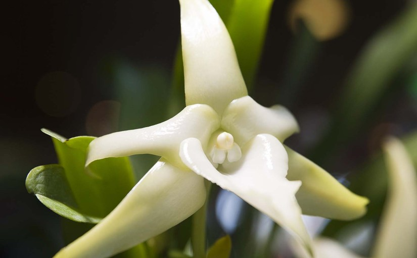 PHOTO: Closeup of Angraecum sesquipdale and its long nectar spur.
