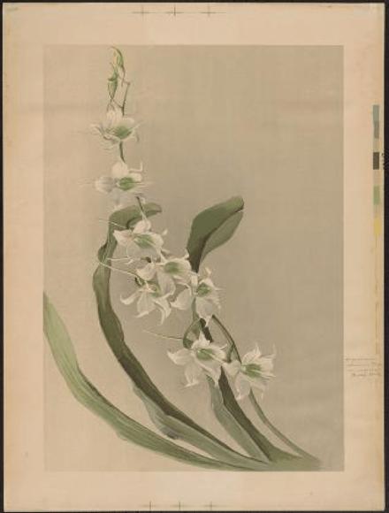 ILLUSTRATION: Angraecum eburneum var. superbum