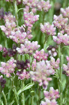 PHOTO: Antennaria dioica.