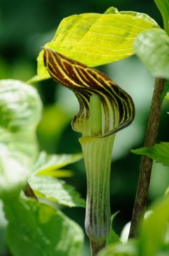 PHOTO: Jack-in-the-pulpit (Arisaema triphyllum).