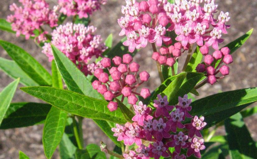 Which Native Milkweeds Should You Plant for Monarch Butterflies?