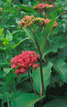 PHOTO: Multi-flowered milkweed blooms.