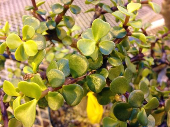 PHOTO: Baby jade bonsai.