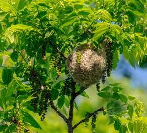 PHOTO: Baltimore oriole nest.