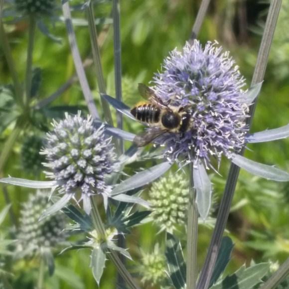 PHOTO: a mason bee on an eryngo flower head.