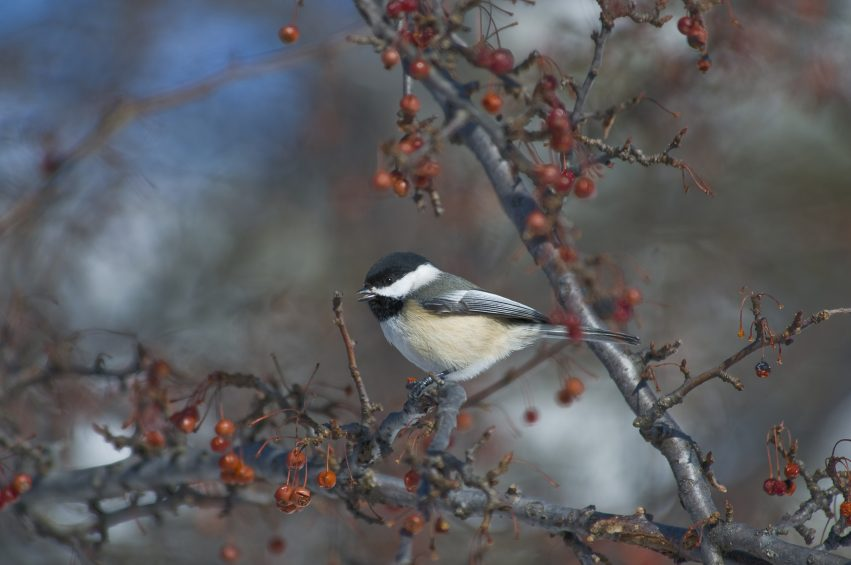 Image result for chickadees in winter