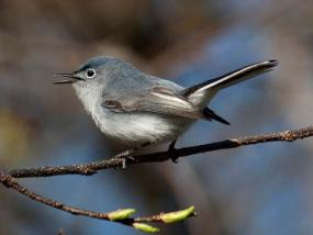 PHOTO: A blue-gray gnatcatcher at the Garden; females look similar, but are less blue.