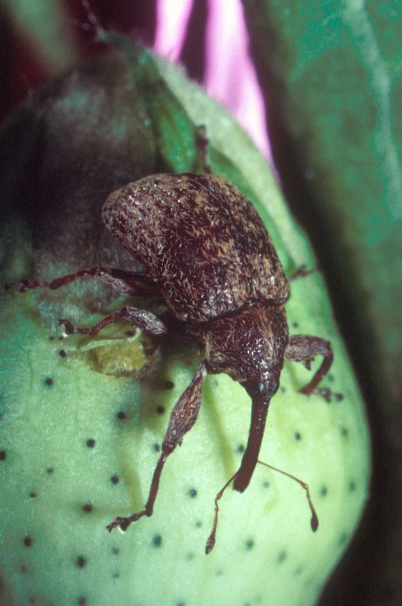 A cotton boll weevil (Anthonomus grandis)