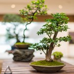 PHOTO: Bonsai in Krebiel Gallery—featured.