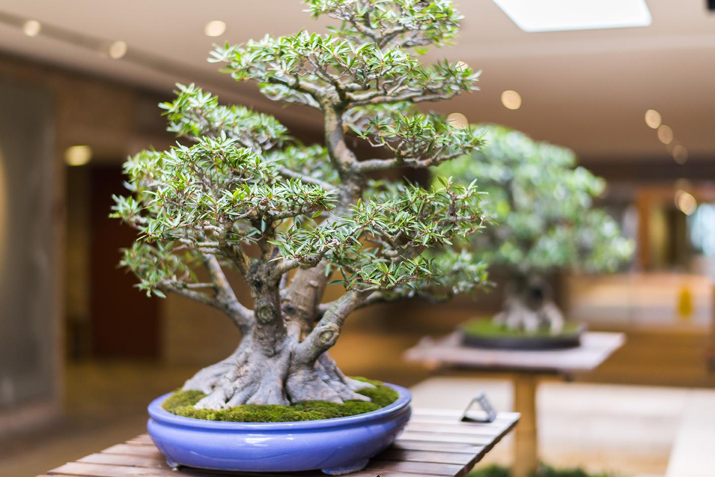Bonsai My Chicago Botanic Garden Wiring Yew