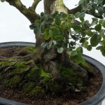 PHOTO: Bonsai.
