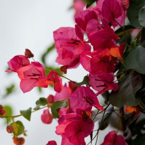 PHOTO: Bougainvillea × buttiana 'Barbara Karst'.