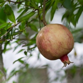 PHOTO: Dwarf pomegranate (Punica granatum 'Nana').