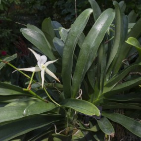 PHOTO: Angraecum Memoria Mark Aldridge.