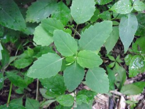 PHOTO: Spotted jewelweed (nonblooming) shows the leaf shape and seed pods.