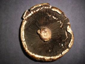 PHOTO: Underside of a portabella mushroom.