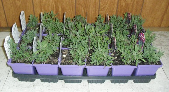 PHOTO: A flat of 3-inch lavender pots.