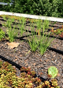 PHOTO: Cactus and allium grown on green roof.