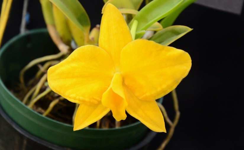 Celebrating Brazilian Orchids: Cattleya coccinea and relatives