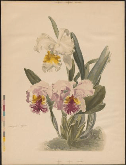 ILLUSTRATION: Cattleya mossiae and Cattleya mossiae var. Wagnerii