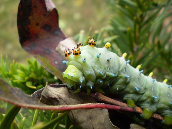 PHOTO: Cecropia moth caterpillar (Hyalophora cecropia).