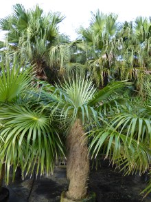 PHOTO: Coccothrinax crinita.