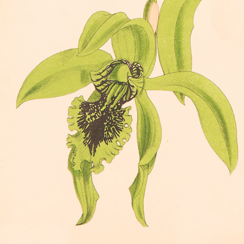 ILLUSTRATION: Coelogyne pandurata.