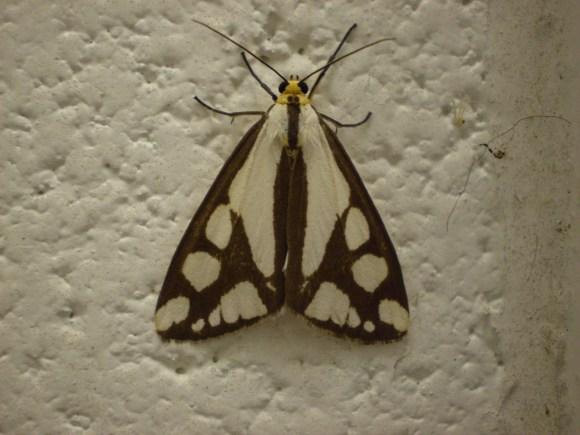 PHOTO: Colona moth (Haploa colona).
