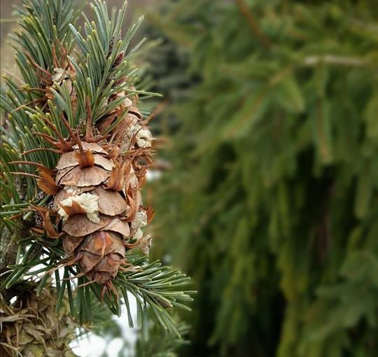 Conifers to Light Up the Winter Garden