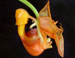 PHOTO: Closeup of Coryanthes speciosa, showing bucket and drip of nectar.