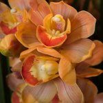 PHOTO: Cymbidium Sarah Jean 'Peach'