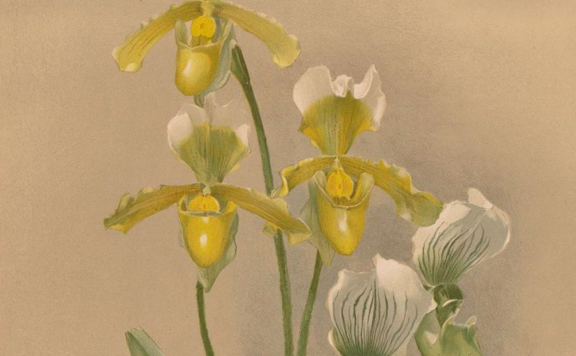 ILLUSTRATION: Cypripedium insigne Wall. var. sanderae Hort. Sander and Cypripedium X Maudiae Hort