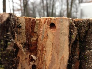 PHOTO: A D-shaped exit hole left by EAB.