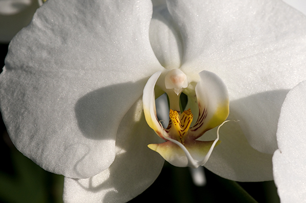 Photographing Orchids