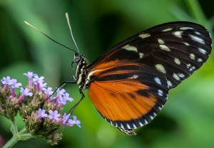 PHOTO: Hecale Longwing