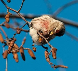 PHOTO: Common Redpoll ©Carol Freeman