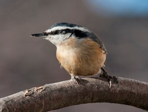 An unusual irruption of this cute little red breasted nuthatch this winter at the Garden! © Carol Freeman.