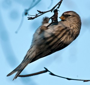 PHOTO: Common Redpoll enjoying the birch tree seeds outside Regenstein Center. ©Carol Freeman