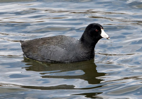 PHOTO: American Coot.