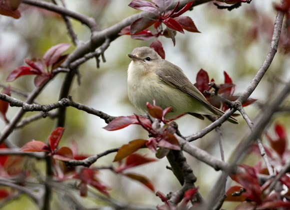PHOTO: Warbling vireo.
