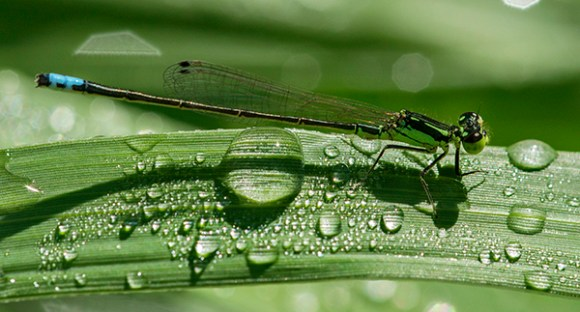 PHOTO: Rare form of male Eastern Forktail damselfly.