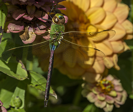 PHOTO: Common Green Darner dragonfly.