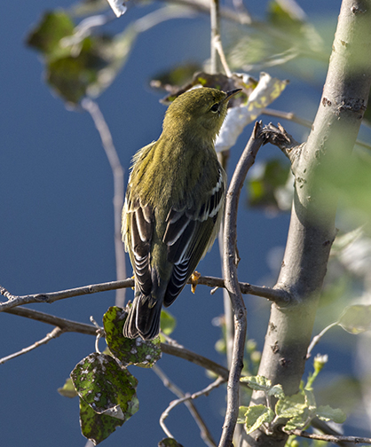 PHOTO: Blackpoll warbler.