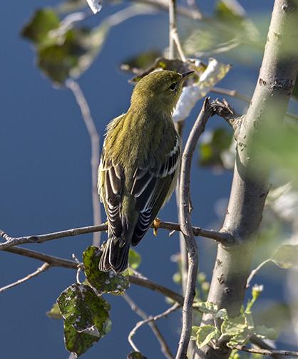 PHOTO: Blackpoll warbler.
