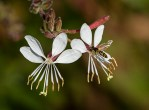 PHOTO: Gaura blooms.
